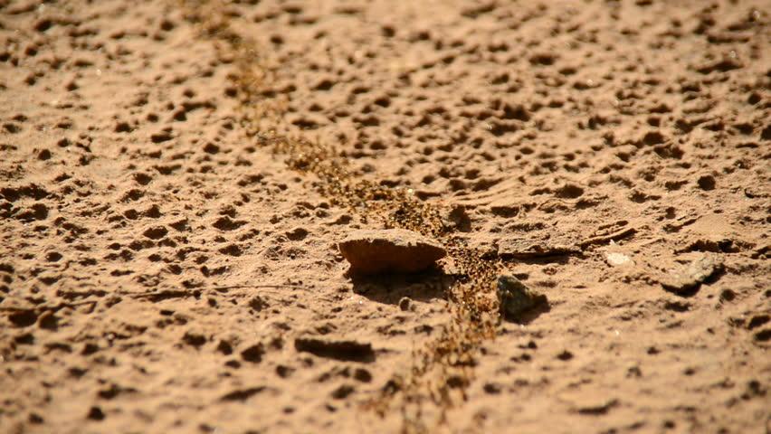 Colònia de formigues en moviment